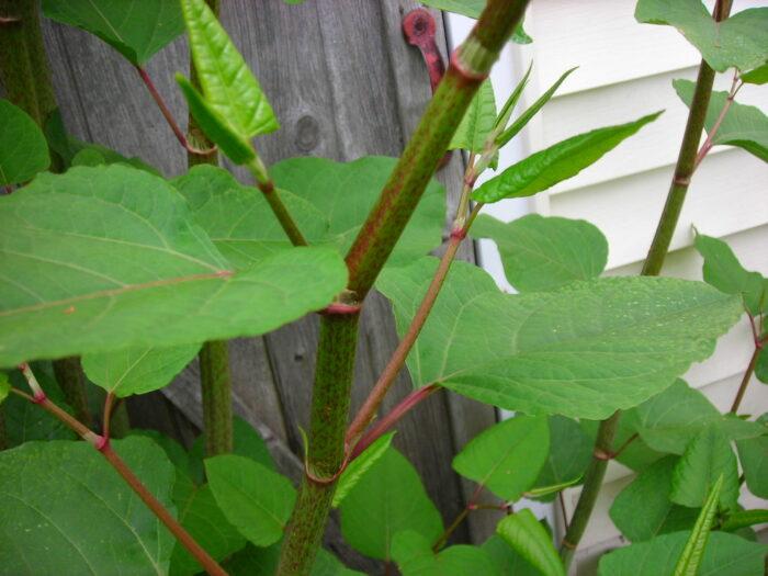 De Japanse Duizendknoop Overwoekert Snel Ander Groen.